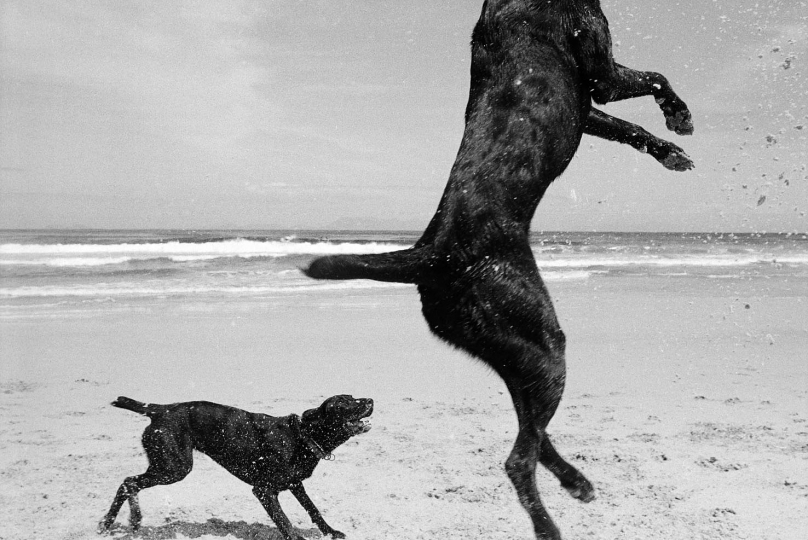 Two Dogs, Pringle Bay, Cape, South Africa. 1999/2000.